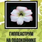 Гиппеаструм на подоконнике
